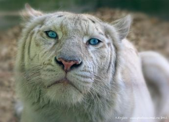 Session with White Liger by Jagu77