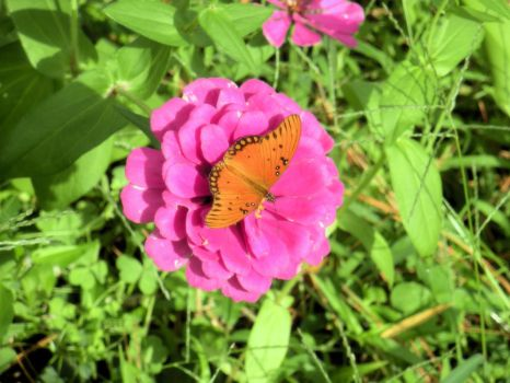 Butterfly and  Zinnia 0631 by Aazari-Resources