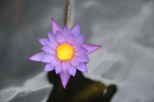 water lily.. by maslenkina