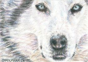 Siberian Husky - ACEO by Carol-Moore