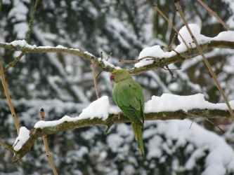 Rose-ringed Parakeet in the snow by sonique6784