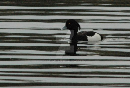 Tufted Duck 1 by dannykaye