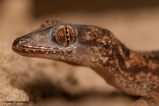 Brown gecko by dllavaneras