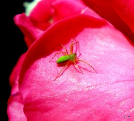 Little Green spider by Kokopellishuman