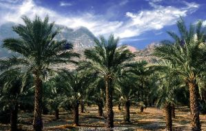 Date Palm Plantation near En Gedi by Woscha
