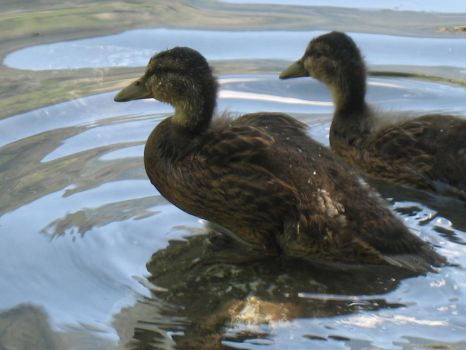 Little Ducks in the Water by Age3111