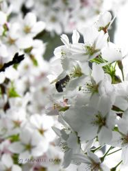 Bee on cherry blossom by Pandannabelle