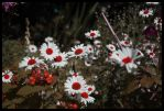 Red Daisy's by 1Mathew7