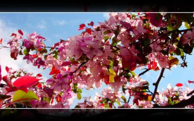 Cherry Blossoms by Lilywen