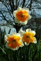 Three Orchid Daffodils by Earth-Hart