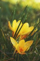 Waterdrops on yellow flower by Estelle-Photographie