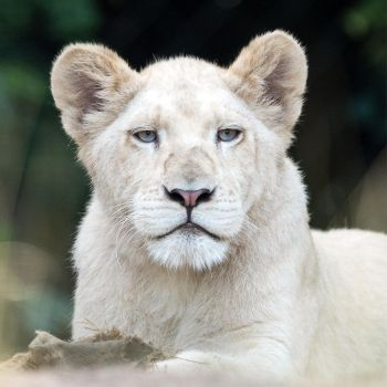 White Lion by LordGuardian