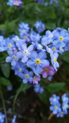 Forget-Me-Not by SparrowHawk135