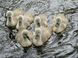 6 of cygnets by Mogrianne