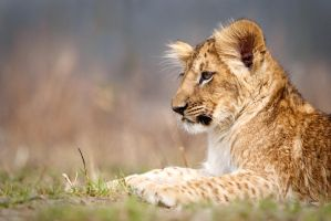 Portrait of lion cub Fufik (Panthera leo) by AlesGola