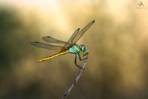 Dragonfly Sympetrum Fonscolombii #2 by VitoDesArts