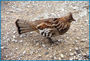 Ruffed Grouse by Lone---Wolf