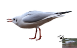 Cut-out stock PNG 114 - expressive seagull by Momotte2stocks