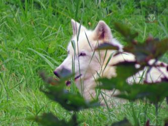 Artic Wolf Hiding In Grass by wolfwings1