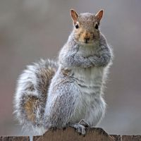 Eastern gray squirrel 34 by EasternGraySquirrel