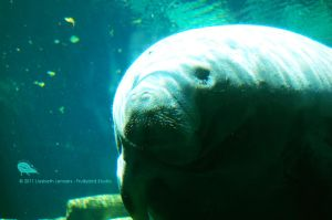 Greatness Of The Manatee by SurrealisticPillow88
