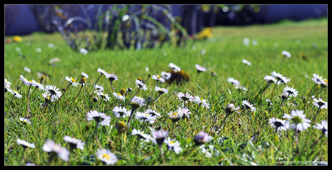 A world of daisies by Askgard