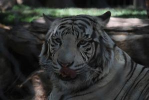 White Tiger by calger459