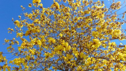 Tabebuia chrysotricha Tree by LaMoonstar