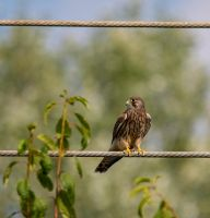 Watcher on the Wire! by Mincingyoda