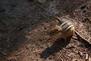 Unexpectedly Friendly Chipmunk by BlackRoomPhoto
