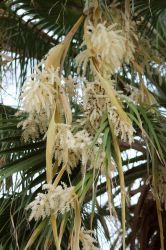 Palm Flower by hclausen