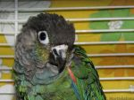 My Pearly Conure by WhitePhoenix7