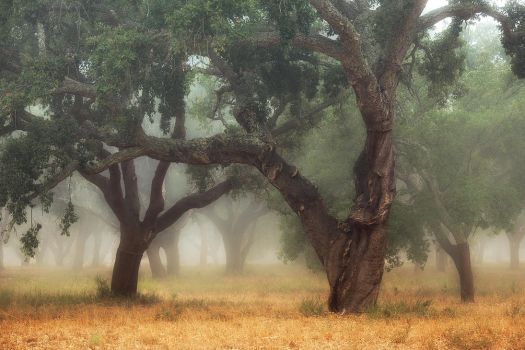 Alentejo Cork Oak Trees by vamosver