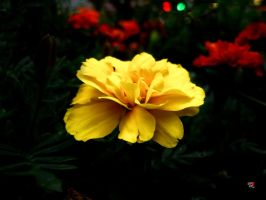 Yellow Petals by jemgirl