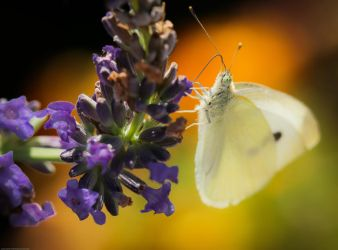 Some colour for the white butterfly... by clochartist-photo