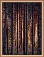 Evening Light in the Pines by papatheo