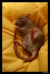 Guinness The Rat by GodSpeed-Photography