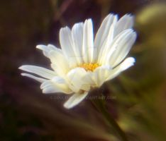 Daisy by Couleur345
