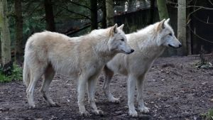 White Grey Wolf IV by Track-Maidens