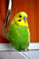 My budgie Bert 3. by Verenique