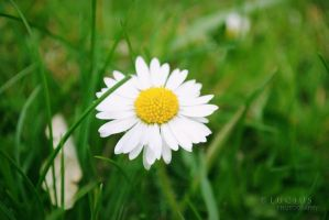 Spring daisy II by LuciusThePope