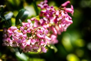Flowering Bush (HDR) by ian-roberts