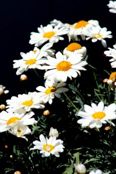 White Daisy by shutter-bug664
