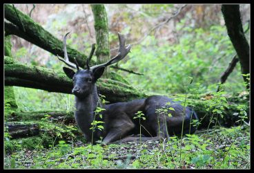 Stag by Hashassin