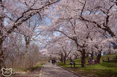 High Park - Take a walk down Sakura lane by diav