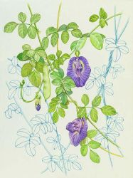 Butterfly Peas by rinaswan