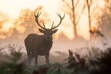 Red Deer Stag by StephiPhotography