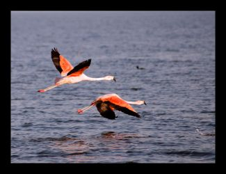 Pink Flamingos II by michref