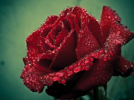 Deep Red Rose Redux by StevenLeonCooper