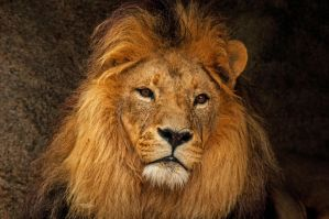 Lion Portrait by daniellepowell82
